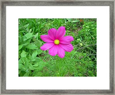 Pink Cosmos Framed Print by Aimee L Maher Photography and Art Visit ALMGallerydotcom