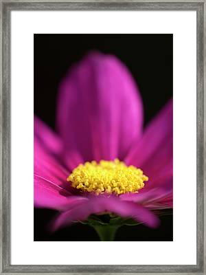 Pink Cosmos Flower Abstract Framed Print by Nigel Downer