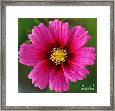 Pink Cosmos Framed Print by Kathleen Struckle