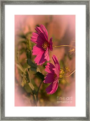 Framed Print featuring the photograph Pink Cosmos  by Marjorie Imbeau