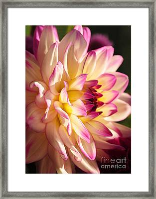 Framed Print featuring the photograph Pink Cream And Yellow Dahlia by Olivia Hardwicke