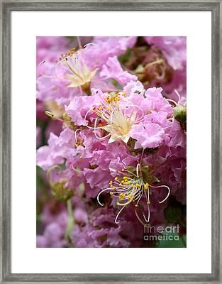 Pink Crepe Myrtle Closeup Framed Print
