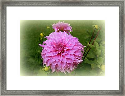 Pink Dahlia Framed Print by Donna Walsh