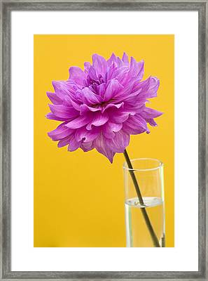Pink Dahlia In A Vase Against Yellow Orange Background Framed Print by Natalie Kinnear