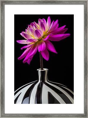 Pink Dahlia In Striped Vase Framed Print