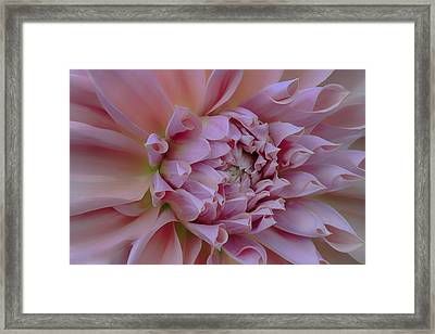 Framed Print featuring the photograph Pink Dahlia by Jacqui Boonstra