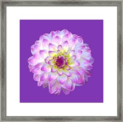 Pink Dahlia Posterized On Purple. Framed Print by Rosemary Calvert