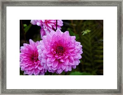 Pink Dahlias Framed Print