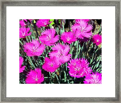 Framed Print featuring the photograph Pink Daisies by Gena Weiser