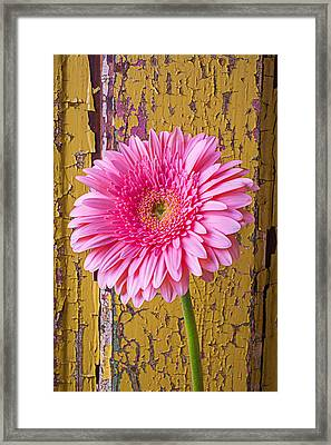 Pink Daisy Against Yellow Wall Framed Print by Garry Gay
