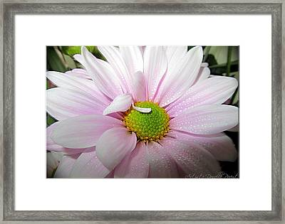 Pink Daisy Freshness With Water Droplets Framed Print by Danielle  Parent