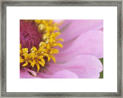 Framed Print featuring the photograph Pink Daisy by Phyllis Peterson