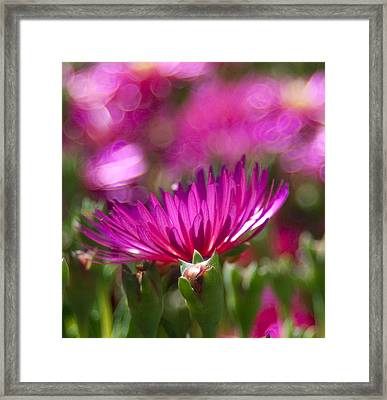 Pink Dance Framed Print by Haleh Mahbod