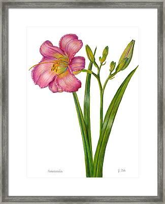 Pink Daylily - Hemerocallis Framed Print
