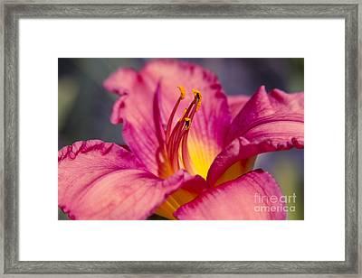Pink Daylily Island Princess - Hemerocallis Framed Print by Sharon Mau