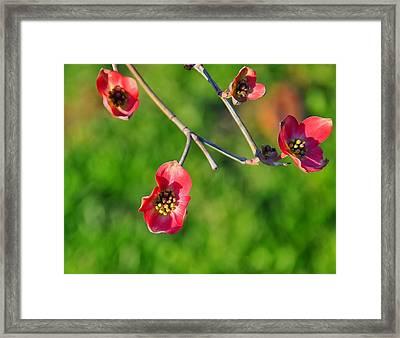 Pink Dogwood Blossoms Framed Print by Chris Flees