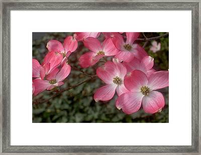 Pink Dogwood Delight Framed Print