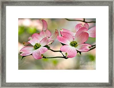 Pink Dogwood Splendor Framed Print