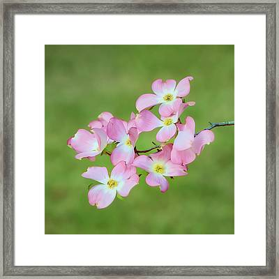 Pink Dogwood Watercolor Framed Print by Dan Holland