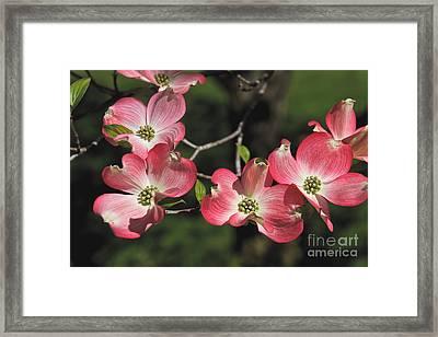 Pink Dogwood Framed Print