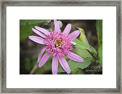 Pink Double Delight Echinacea Framed Print by Teresa Mucha