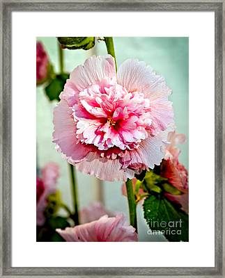 Pink Double Hollyhock Framed Print by Robert Bales