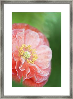 Pink Double-ruffled Shirley Poppy Framed Print by Maria Mosolova