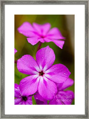 Pink Drummond Phlox Wildflowers With Raindrops Framed Print
