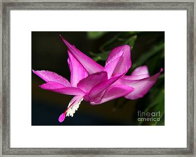 Pink Easter Cactus Framed Print by Christiane Schulze Art And Photography