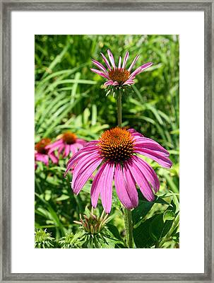 Framed Print featuring the photograph Pink Echinacea by Ellen Tully