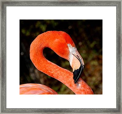 Not So Pink Flamingo Framed Print by Dee Dee  Whittle