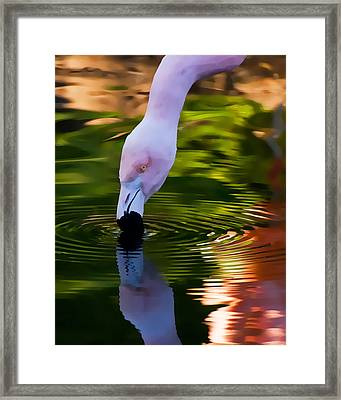 Pink Flamingo Ripples And Reflection Framed Print