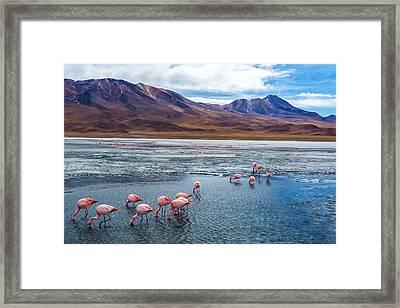 Pink Flamingoes In Bolivia Framed Print