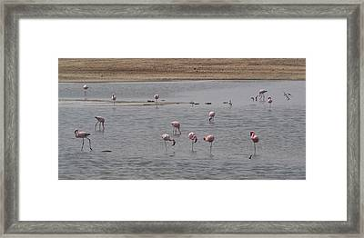 Pink Flamingos In A Pond, Mowe Bay Framed Print by Panoramic Images