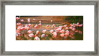 Pink Flamingos Resting Framed Print by Dan Sproul