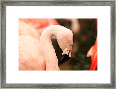 Pink Flamingos Framed Print