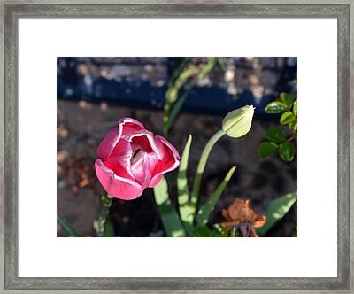 Pink Flower And Bud Framed Print by Brent Dolliver