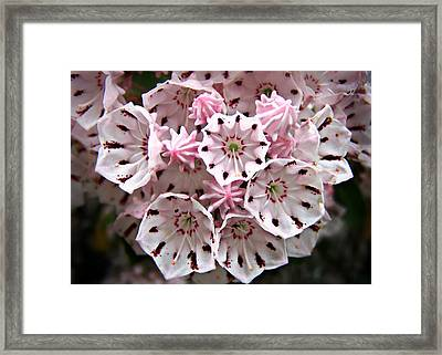 Pink Flowered Mountain Laurel Framed Print