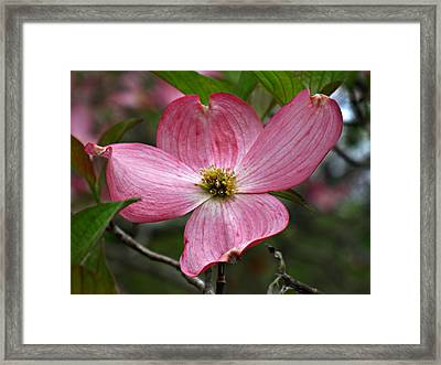 Pink Flowering Dogwood Framed Print