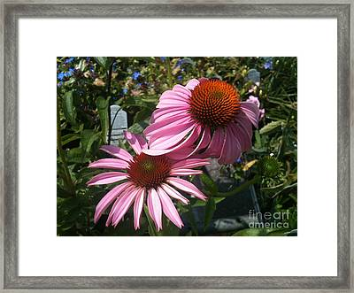 Pink Flowers Framed Print by Amber Beach