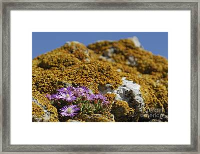 Pink Flowers On Mossy Rock Framed Print by Sami Sarkis