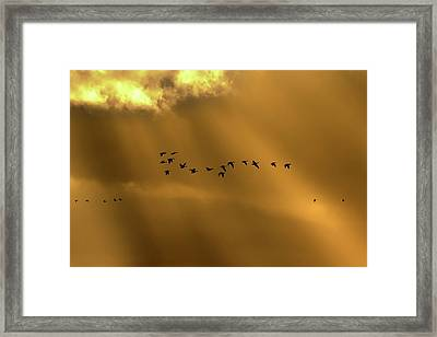 Pink Footed Geese Framed Print by Simon Booth