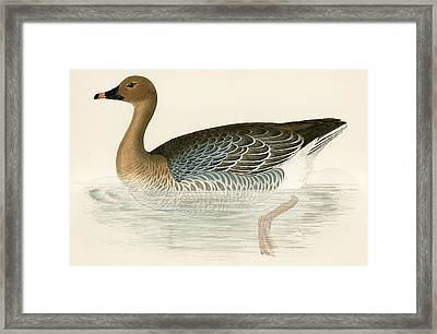 Pink Footed Goose Framed Print by Beverley R Morris
