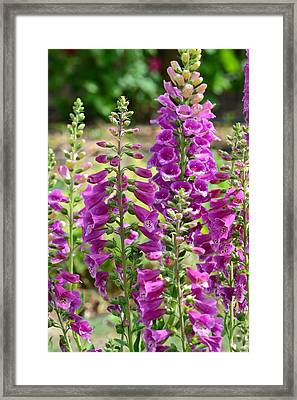 Pink Foxglove Flowers Framed Print by P S