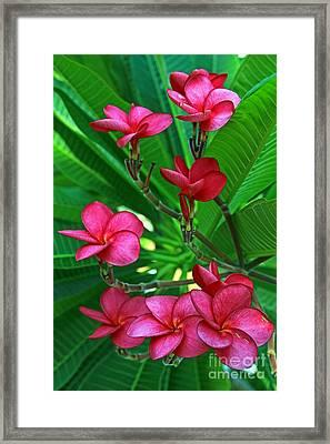 Pink Frangiapani - Plumeria Framed Print by Larry Nieland