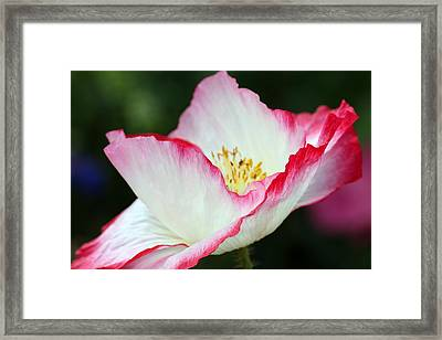 Pink-fringed Poppy Framed Print