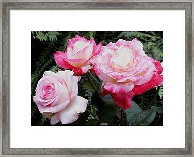 Framed Print featuring the photograph Pink Garden Roses by James C Thomas