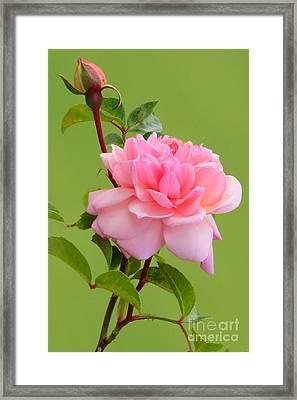 Pink Gem Framed Print by Frank Townsley