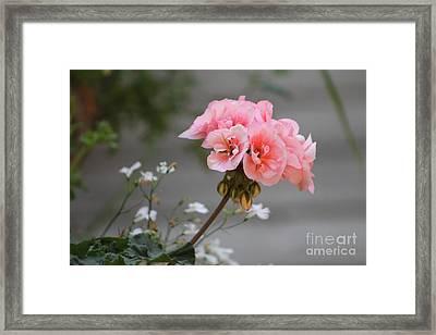 Pink Geranium Framed Print by Leone Lund