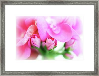 Pink Geranium Framed Print by Lisa Knechtel